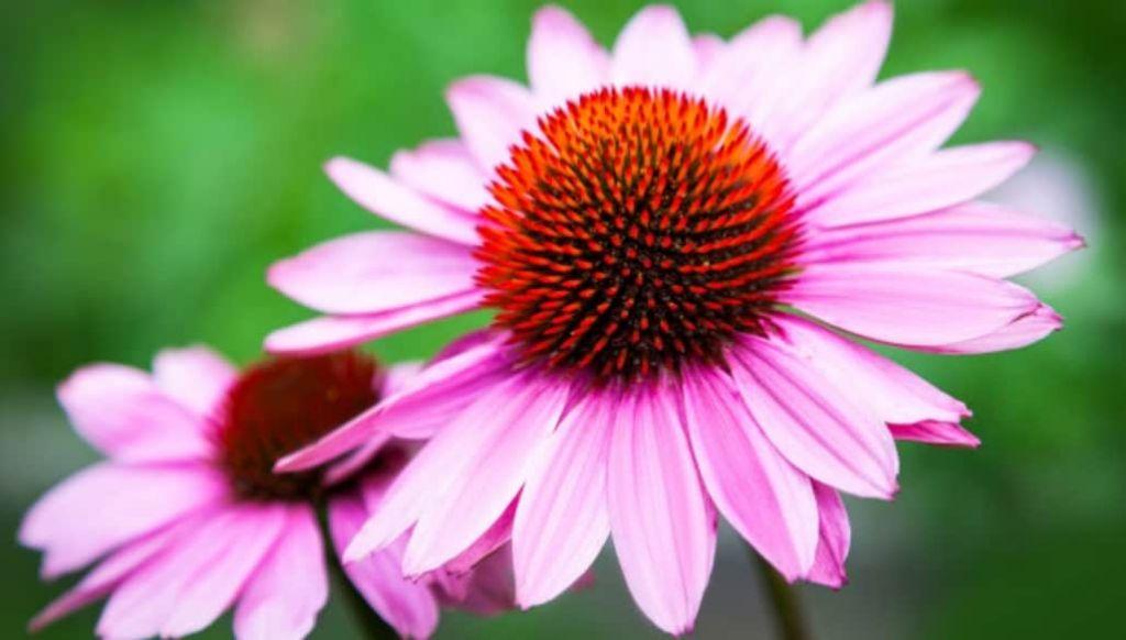 equinacea flor que ayuda a tu sistema inmune de forma natural
